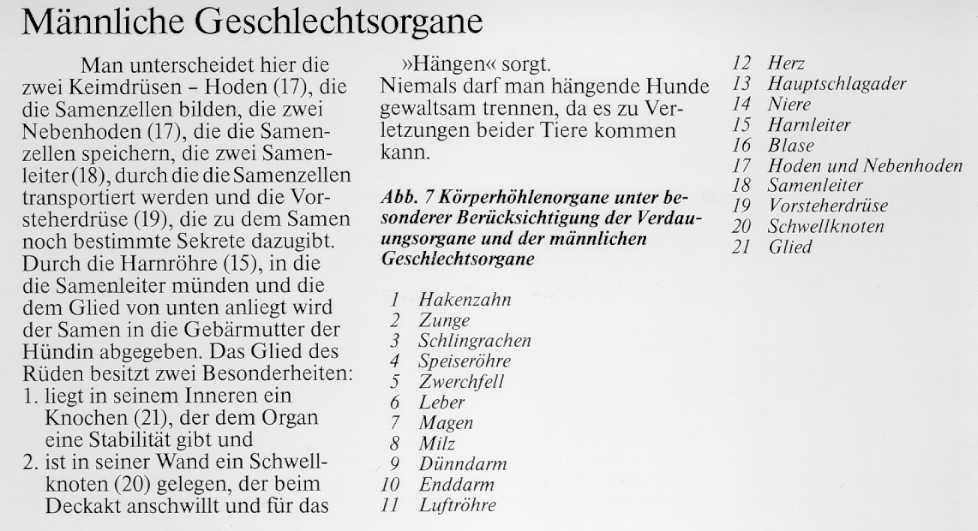Anatomie des Deutschen Schäferhundes - Männliche Geschlechtsorgane